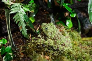 Theloderma corticale, the mossy frog. by Charles-Hopfner