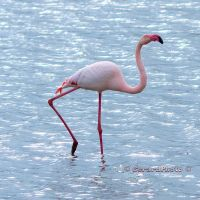 The Greater Flamingo by GerardPhoto