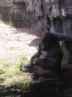 WDW: ...a gorilla. by toughtink