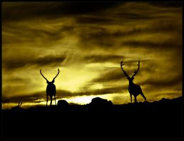 Reindeer in the Midnight Sun by JonasRH