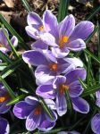 crocuses 02 by jesterrysources