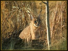 gold caracal by Draghonia