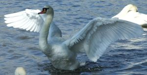 .Swan Wings 0. 0056 by DelinquentDog