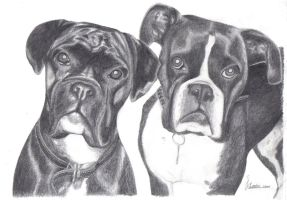 Boxer Dogs by JodieLeader