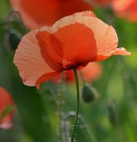 Poppy-photo-nature by sonafoitova