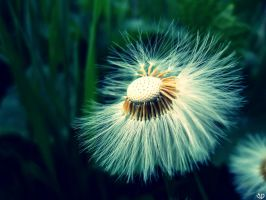 Not a dandelion by R3dMad