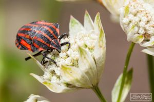 Italian Striped-Bug by MariaDeinert