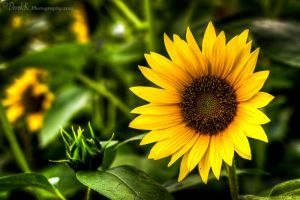 Sun Flower by derek-k