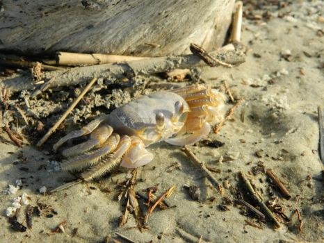 Ghost Crab by ArtemisIceheartt