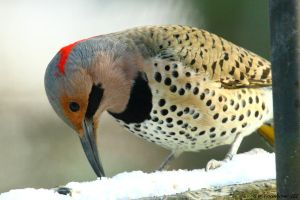 Yellow Shafted Flicker close up 1 by natureguy
