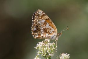 Mylitta Crescent Butterfly - 1 by myekeh