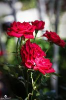 Sprinkled Red Roses by mjohanson