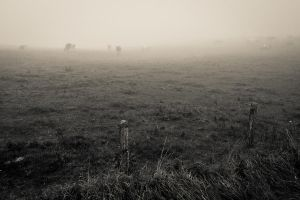 Cows in the fog by fr31g31st