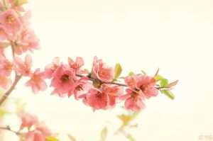 Spring Blossom by case15