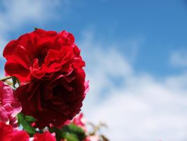 Red roses and the sky by moonstarxx