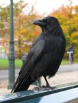 Crow 1 by dierat-stock