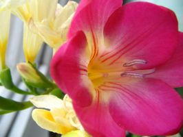 Freesia by honeysunshinetw