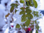 ice leaves- by Flick3rGirl