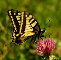 swallowtail by blackasmodeus