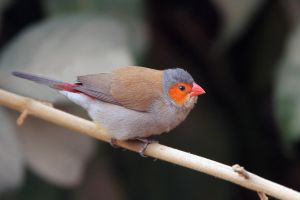 Food, where? - Orange-cheeked Waxbill by Jamie-MacArthur