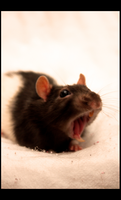 Yawn Rat I by SecretNocturne