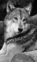 timber wolf 1 by mia95