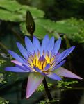 Blue Lotus by AgiVega