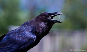 common raven by PiTurianer