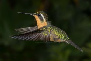 As gentle as a breeze White-throated Mountain Gem by Jamie-MacArthur