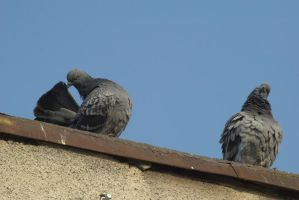 pigeons 6 by deepest-stock