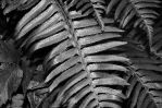 Fern by PaulWeber