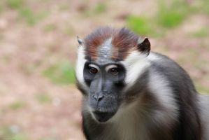 red-capped mangabey by GMCollins