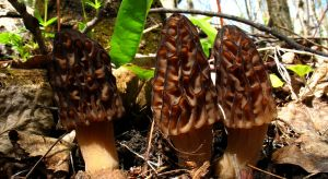 morel 2010 by Wartydeathcap