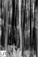 Rhythm of Pines by yuanyuanyuan