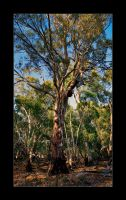 Red Gum Near The Murray by eehan