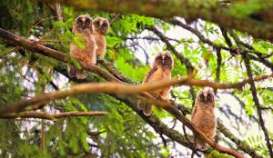 Long-eared Owl - Asio otus by Flaeger