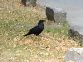 An adorable crow in front of me (Cologne) by BloodyBetty666