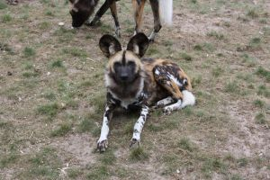 wild dog afrika by lindaatje