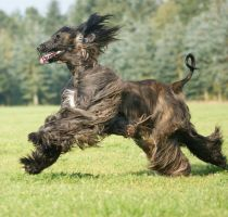 Coursing Afghan Hound by Quimat