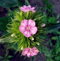 Dianthus by xBarbaraG