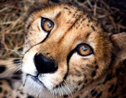 Cheetah by parrothead529
