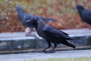 House Crow - 20140223 - 00006 by TomFawls