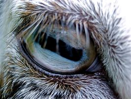 Eye of a Goat by ella-vere