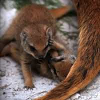 Yellow Mongoose Playfight 1 by robbobert