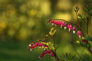 Bleeding Hearts by Gunpowdersmoke