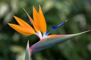 Bird of paradise by juliegraham