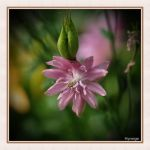 Colombine en rose I by hyneige