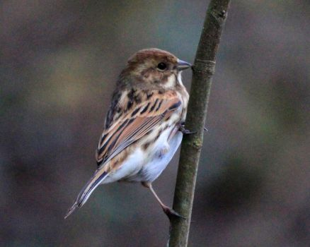 Female Reed Bunting by Weekendphotographer
