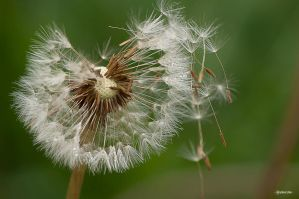 Dandelion VII by Rayon2lune