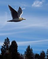 Seagull In Flight Through Sky by wolfwings1
